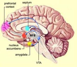 nucleus accumbnes