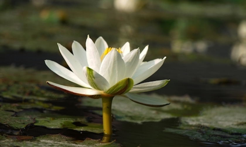 Lotus-Flower-in-Water